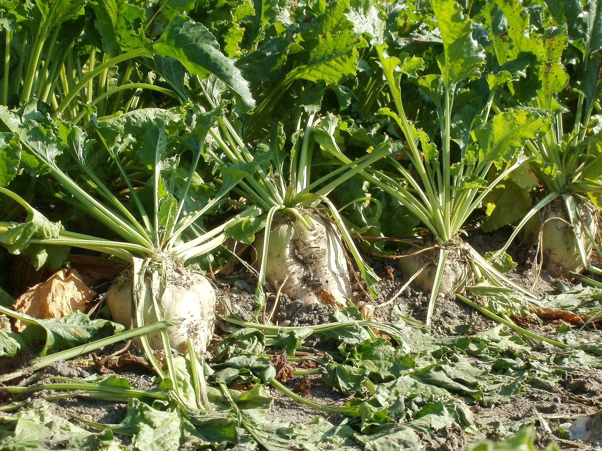 effects of the 1884 beet sugar Potassium and sodium both have similar effects on the growth, development, and productivity of sugar beet they can both play an important role in the regulation of water within the plant via controlling water loss from the stomata on the leaf surface.